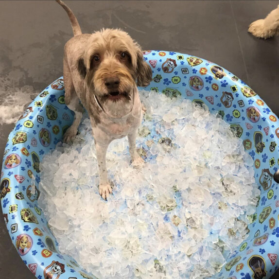 A dog in daycare plays in a pool of ice cubes.